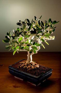 An olive tree as a bonsai. I just love bonsai.