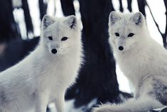 17 Great Photos of Arctic Foxes: The arctic fox is an extremely robust creature that can withstand frigid arctic temperatures as low as -58 degrees Fahrenheit. During the winter, arctic foxes have beautiful white coats that provide effective camouflage in the snow and ice. When the seasons change, its fur changes as well, adapting to the browns and grays of the arctic summer's tundra. Here are 17 photos of arctic foxes, both in summer and winter.