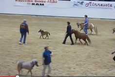 Video:  Baby Miniature Horse Does Reining Pattern….Kind of.  Love the ending.