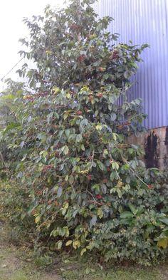 Planta d cafe