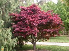 Japanese Bloodleaf Maple — Acer palmatum Atropurpureum x Acer Palmatum, Trees With Red Leaves, Japanese Red Maple, Buy Plants Online, Specimen Trees, Shade Trees, Maple Tree, Deciduous Trees, Red Flowers