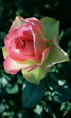 rose seeds Double Delight Hybrid Tea Rose bonsai flower seeds beautiful perennial rose petals for home garden plant Beautiful Rose Flowers, Amazing Flowers, Beautiful Flowers, Pretty Roses, Fresh Flowers, Rosa Rose, Hybrid Tea Roses, Cellphone Wallpaper, Pink Roses