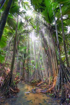 Vallée de Mai Nature Reserve, Praslin Island, Seychelles ~ UNESCO World Heritage Site ~ natural palm forest preserved in its original state - Coco-de-Mer (Lodoicea maldivica)