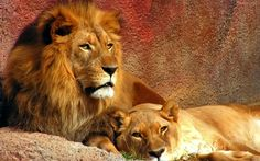 Image Detail for - Couple Lion Wallpaper Big Cats Animaux The Animals, Jungle Animals, Wild Animals, Beautiful Lion, Animals Beautiful, Beautiful Creatures, Couple Lion, Wild Animal Wallpaper, Tier Wallpaper