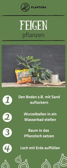 Feigenbaum Im Garten: Experten Tipps Vom Kauf Bis Zur Pflege