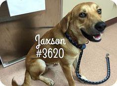 Jaxson - URGENT -  Alvin Animal Adoption Center in Alvin, Texas - ADOPT OR FOSTER - Adult Male Shepherd Mix