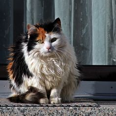 Pretty Fluffy Calico Cat - I just want the pet all that soft fuzz!