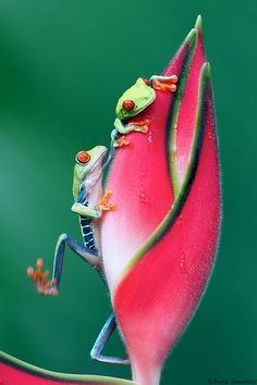 vividly colored tree frogs perched on a flower bud