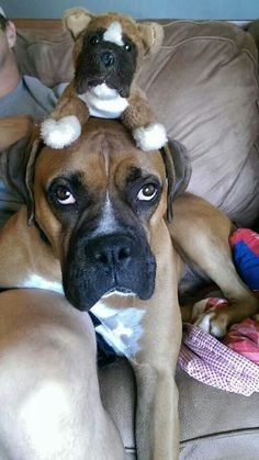 Boxer dogs will never, ever leave your side… EVER! Boxer And Baby, Boxer Love, I Love Dogs, Puppy Love, Cute Dogs, Silly Dogs, Funny Dogs, Boxer Dog Puppy, Funny Boxer