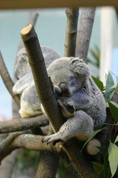 Koala Bears Picture Cake Ideas And Designs