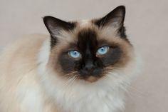 Choco, a seal point birman cat aka the sacred cat of burma