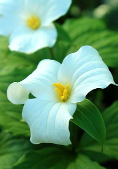 """Trillium grandiflorum, TRILLIUM, 1799 As far back as 1805 Philadelphia nurseryman Bernard Mahon recommended bringing it in from the woods to """"grace and embellish the flower-garden,"""" and in 1870 William Robinson featured a full-page image of it in his ground-breaking The Wild Garden. Best in light shade and moist, humus-rich soil, 12-16"""", zones 4a-7b   Old House Gardens Heirloom Bulbs"""
