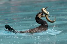 Kormoran frisst Aal Snake, Animals, Patience, Lucerne, Animal Photography, Animales, Animaux, Animal Memes, Animal