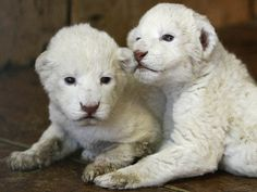 baby lion | Baby White Lion Picture 3