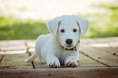Looking for some cute white dog names for your new puppy? Check out these 15 fun monikers! Which one is your favorite? Cute White Puppies, White Dogs, Training Your Puppy, Dog Training Tips, Training Kit, Training Courses, Pet Dogs, Dogs And Puppies, Dog Training