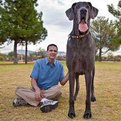 1.Perro gigante llamado George, es el más grande de todos los perros.