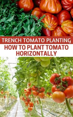 Trench Tomato Planting - How To Plant Tomato Horizontally — Anyone who has grown tomatoes can tell you that they tend to be sensitive, and fruit production can be unpredictable.