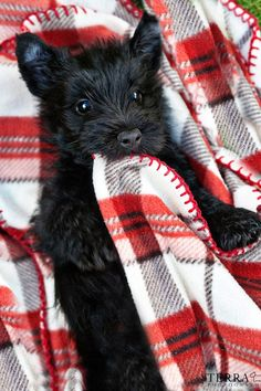 Scottish Terrier Pup and his favourite tartan blanket