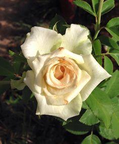 Rosas de la cuidad universitaria. San Lorenzo