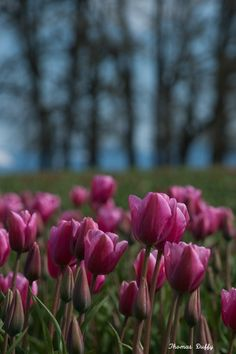 Tulip Festival 2012 at Wooden shoe