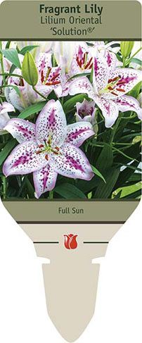 "Fragrant Lily Lilium Oriental Solution® from Netherland Bulb Company - Slender stalks topped with a cluster of large, exotic, fragrant flowers. Keep evenly moist once sprout breaks through growing medium. Grow at 55-60F night temperature. Fill pot with 1-2"" of dirt, place bulbs in pot and finish filling. If planting multiple bulbs per pot, angle bulbs so top of bulbs are pointed towards rim to allow more room for blooming plants. Roots will develop along the stem for a stronger plant."