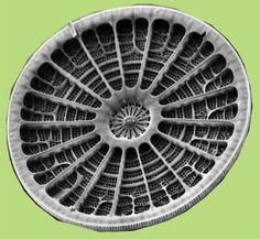 Diatom -   Arachnoidiscus sp.