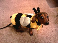 bee good doxie