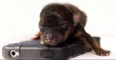 Britain's Smallest Puppy