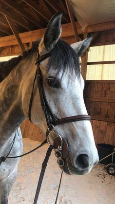 #greyhorse  #unicorn #thoroughbred  #greythoroughbred #hunterhorse  #aacircuir