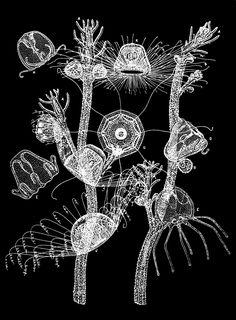 PSM_V33_D765_Turritopsis.jpg 1,692×2,299 pixels