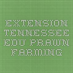 extension.tennessee.edu  Prawn Farming