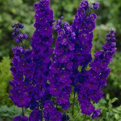 Delphinium Black Knight - Delphiniums - By Variety - Perennial Plants