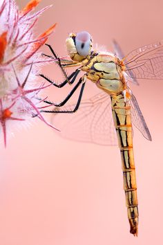 Dragonfly (Female Red-veined Darter)