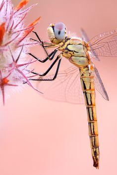 Dragonfly (Female Red-veined Darter)