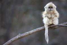 Golden Snub Nosed Monkey.
