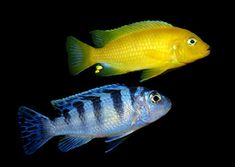 !Lombardoi Cichlids. Yellow - male. Blue - female.