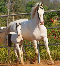 Marwari mare and foal