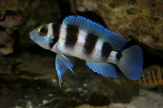 Five Bar Cichlid (Neolamprologus tretocephalus) byWabbyTwaxx