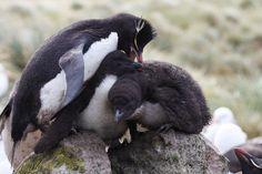 Rockhopper Penguin bullying chicks