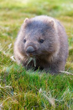 A wombat munches on grass in Cradle Mountain-Lake St Clair National Park, a place of heathlands, alpine forest and rock stretching for 600 square miles on the Australian island of Tasmania // photo by Catherine Sutherland #wombat #tasmania #australia