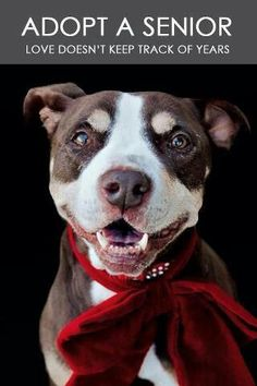 This pittie senior face and smile just warms our heart!