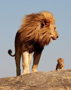 I've always loved Lions...maybe because we have the same hair color....and maybe because I'm so protective of my babies.  I love this picture.