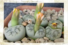 https://flic.kr/p/phtvv5 | Lithops werneri, C 188.