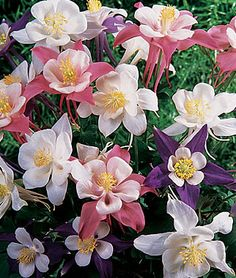 """Columbine, Songbird Mix Dramatic shaped flowers in lovely shades of light blue,rose and white.  Large blue, rose and white flowers bloom early on compact plants. Rising above the foliage, the 3 ½"""" uniquely shaped flowers add a graceful air to the perennial garden. Equally suited for containers, columbines will thrive in a moist, well-drained soil."""