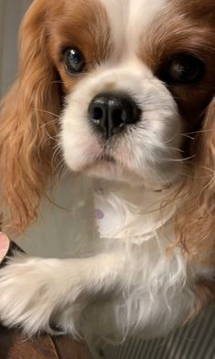 Cavalier King Charles Dog, King Charles Spaniel, Spaniel Dog, Spaniels, Baby Animals Super Cute, Cute Animals, Beautiful Dogs, Animals Beautiful, Cute Puppies
