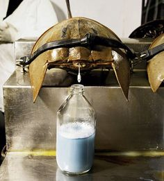 Horseshoe crabs have blue blood. Wowwww I didn't know this. :O