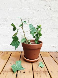 Growing English Ivy from a Cutting Ivy Plants, Jade Plants, Indoor Plants, House Plants Decor, Plant Decor, English Ivy Indoor, Ficus Pumila, Arrowhead Plant, Gardens