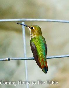 Hummingbird in the backyard