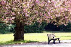 Kwitnące, Drzewo, Ławka, Park, Wiosna