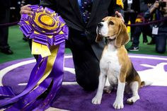 Miss P, a beagle, won the award for best dog at the Westminster Kennel dog show in New York.